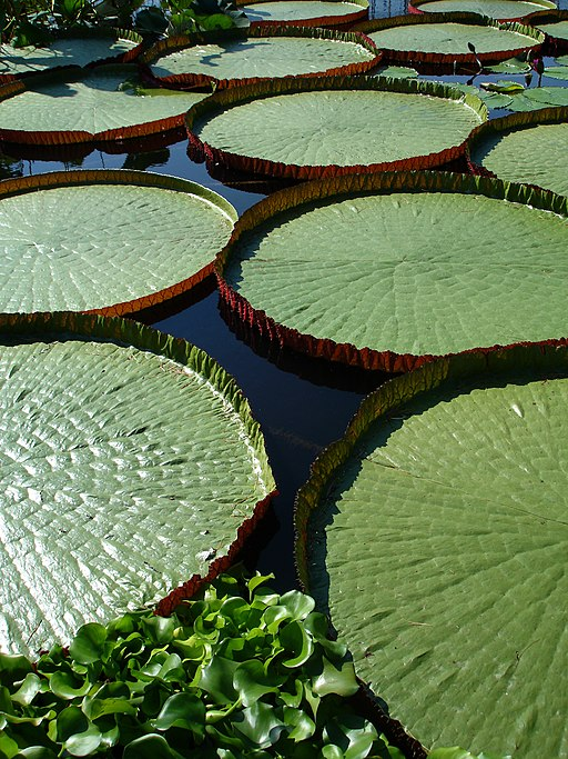 Water Lily pads view
