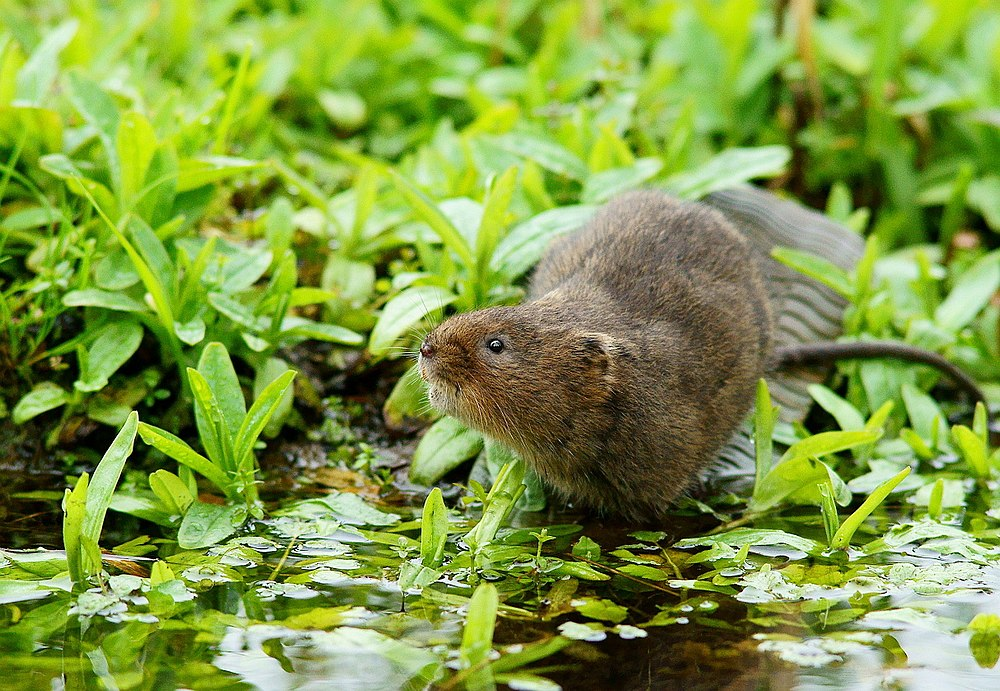 The average adult size of a European water vole is  (0' 8