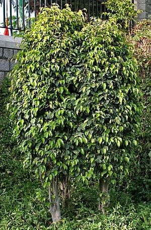 Weeping tree - Weeping Fig