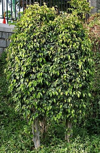 Ficus benjamina - Used as decorative plant in gardens in Hyderabad, India