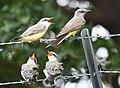 Western Kingbird (fledges and parents) (43618067991).jpg