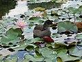 Westfalenpark-100818-17081-Gallinula-chloro.jpg