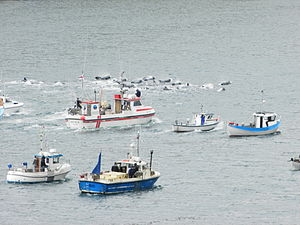 Whaling in the Faroe Islands in August 2012