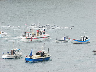 Boats driving a pod of pilot whales into a bay of Suduroy in 2012 Whaling in the Faroe Islands in August 2012.JPG