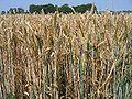 Wheat juillet 2006.jpg