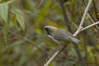 Whiskered yuhina species of bird