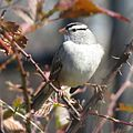 White-crowned Sparrow (16195847167).jpg