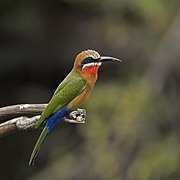 White-fronted bee-eater (Merops bullockoides) Namibia.jpg
