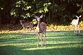 White-tailed deer in Buena Vista, VA.jpg