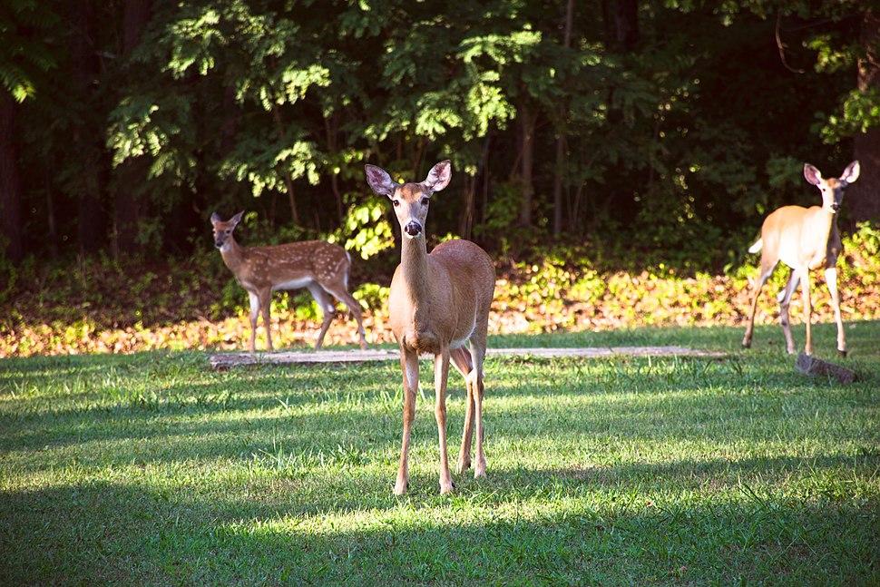 White-tailed deer in Buena Vista, VA