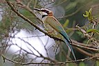 White-throated bee-eater (Merops albicollis) 2.jpg