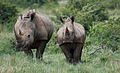 White rhinoceros or square-lipped rhinoceros, Ceratotherium simum. Note that in some of these photos there are a female with a calf, and a male that seems to have been challenging the calf. (17153619159).jpg
