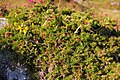 Wicklow Mountains National Park Ulex europaeus.JPG