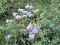 Wild flower Alvan Mountain1.jpg