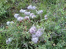 Wild flower Alvan Mountain1.jpg