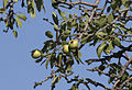 Wild pear - Yaban armudu.jpg