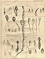William Jackson Hooker - illustration for his paper 'Some Observations on the Genus Andraea'.jpg