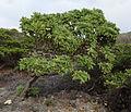 Wind-swept Heliotropium foertherianum (14711438936).jpg