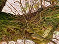 Witch's broom on oak.jpg