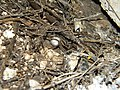 Wolf spider (Lycosidae) with egg sac (3991272433).jpg