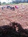 Women Planting Onions 02.jpg