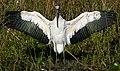 Wood Stork (Mycteria americana).jpg