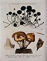 Wood hedgehog fungus (Hydnum repandum), pennywort plant (Hyd Wellcome V0044335.jpg