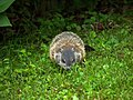 Woodchuck offspring in our yard (5826408580).jpg