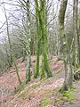 Woodland, on the escarpment, above Saint Hill - geograph.org.uk - 1774469.jpg
