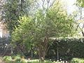 Wzwz tree 10a Corylus avellana.jpg
