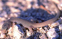 Desert night lizard