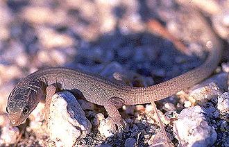 Night lizard - Xantusia vigilis