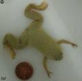 Xenopus laevis x tropicalis cybrid male.png