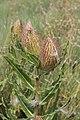 Xysmalobium sp. (Apocenaceae- Asclepiadiideae) (4756627943).jpg