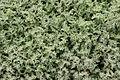 Yaiza - LZ-30 - Mesembryanthemum crystallinum 02 ies.jpg