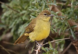 Yellow-bellied Greenbul, Chlorocichla flaviventris (6070517384).jpg