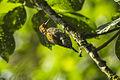 Yellow-browed Woodpecker - Intervales NP - Brazil S4E9996 (12900271055).jpg