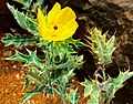 Yellow Cactus Flower, Pavna River.jpg