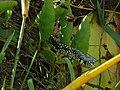 Yellow Rat Snake (Spilotes pullatus) (6775790093).jpg