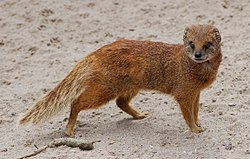 Yellow mongoose 1.jpg