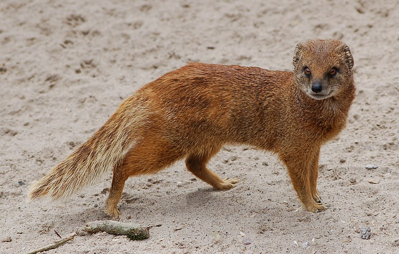 http://upload.wikimedia.org/wikipedia/commons/5/5c/Yellow_mongoose_1.jpg  (wikipedia commons yellow mongoose)