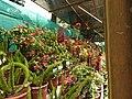 Yercaud 44th Flowershow-14-yercaud-salem-India.jpg