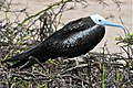 Young Magnificent Frigatebird (4884589387).jpg