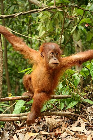 Gunung Leuser National Park - Young orangutan in the national park