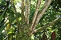 Yucca elephantipes 10zz.jpg