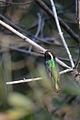 Zafiro Oreja Blanca, White Eared Hummingbird, Hylocharis leucotis (13362573323).jpg