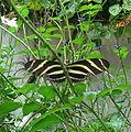 Zebra Longwing 2.jpg