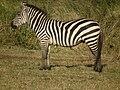 Zebras in Tanzania 3944 Nevit.jpg