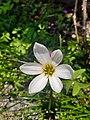 Zephyranthes(6).jpg