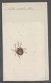 Zetes - Print - Iconographia Zoologica - Special Collections University of Amsterdam - UBAINV0274 072 04 0023.tif